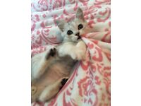 British Shorthair Silver tipped kitten ready now