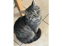 Abandoned Grey Stripy Tabby Male Cat