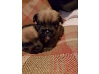 Shih tzu cross pug puppies (SHUG)