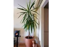 Beautifull Large Yukka plant. Bargain