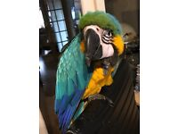 Friendly and docile blue and gold macaw