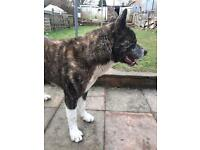 Japanese Akita (rare white and brindle)