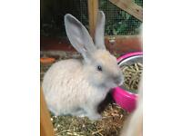 Baby giant rabbits for sale