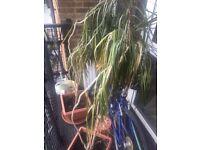 Dracaena marginata dragon tree x2