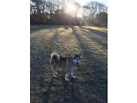 Husky needs Re homing