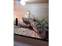 Beautiful freindly bearded dragon and 4ft tank full set up