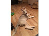 very sad sale of my Siberian Husky