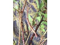 European Stick Insects - easy to care for and harmless
