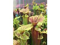 Sarracenia, pitcher plants, Hardy perennial for sale
