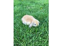 Minilop Pet Bunny Rabbits 7 weeks old