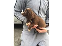 Springer spaniel pups for sale D.O.B 26/3/17 8 weeks old