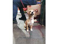 Jackrussel X Chihuahua 16 week old