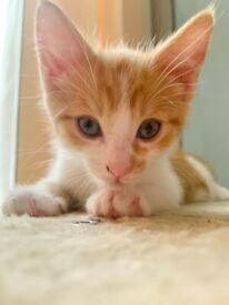 Beautiful ginger kitten boy looking for a forever home.