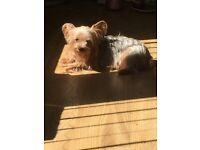 Yorkie for sale small breed 3 year old female