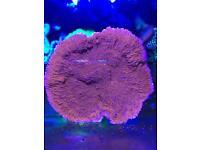 Red monti plate coral sps for marine fish aquarium