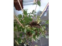 2 VERY DENCE INCH PLANTS FOR SALE IN A ONE LITER POTS PLUS 1