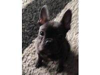 5 month blue French bulldog with kc reg