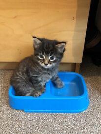 Fluffy playful male kitten