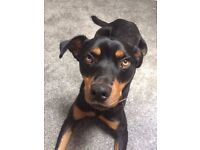 Rory the Rottweiler for adoption