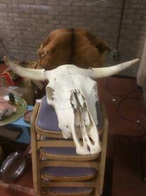 Taxidermy bull&skull&horns