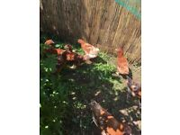 young brown hens for sale