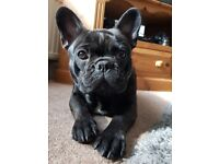 8 month old brindle male french bulldog