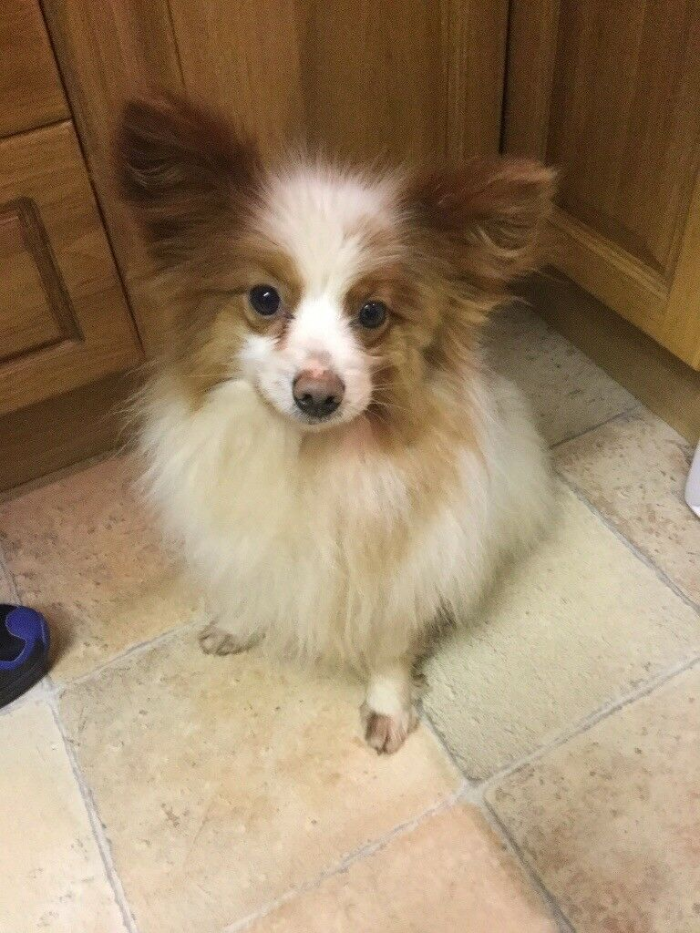 Papillon Dog For Sale In Portadown County Armagh Gumtree