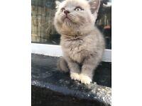 British short hair kitten. Champion bloodline