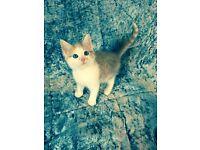 *** Glamerous Ginger Ragdoll Cross Kitten Ready Now ***