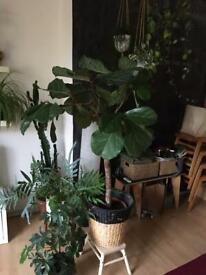 Large fiddle leaf fig tree 120cm tall