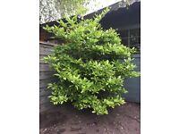 """Magnolia """"Stellata"""" shrub"""