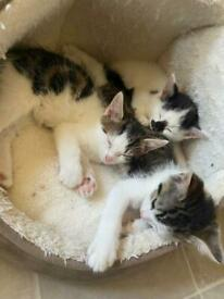 Tabby and white kittens