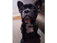 French Bulldog puppy, last one from litter of 7