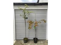Selling two of my most stunning trees