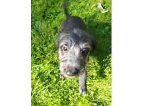 Bedlington x whippet pups