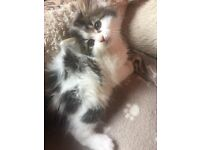 8 week old long haired male kitten