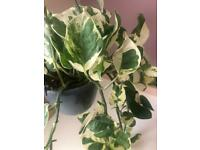 White devil ivy plant, with hanging baskets available