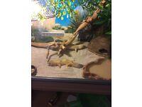 Geckos and tank