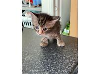 Kitten for sale - **ready to go**