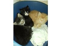 Beautiful ragdoll cross british longhair kittens