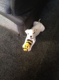 Female white American bulldog pup, around 4 months old, she would make a lovely family pet