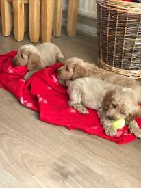 F1 Cockapoo puppies **READY NOW**