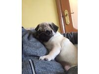 Lovely Pug boy for sale - 4 months old