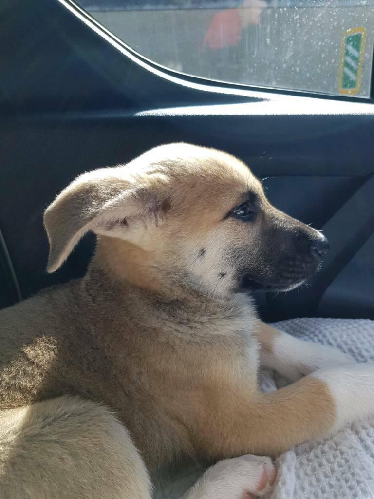 Japanese Akita x German Shepherd Puppies For Sale In Japan