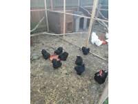 Black Peking fertile chicken eggs