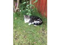 Missing Cat from Romford RM79AR, £300 reward for safe return. Grey & White Tabby.