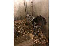 German pointer pup