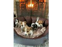 Traditional jack russell puppies