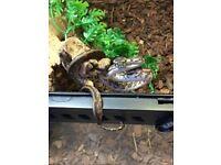 Caramel carpet python