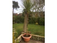 Palm Tree in Large Pot